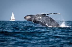 A whale