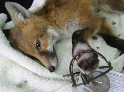 Fox caught in an illegal trap. Photo: courtesy Dorset Police