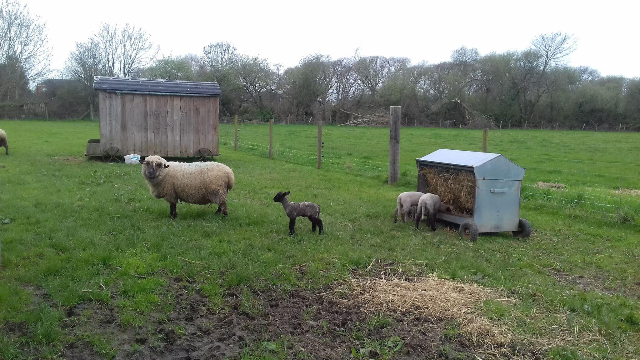 Sheep on New Milton farm
