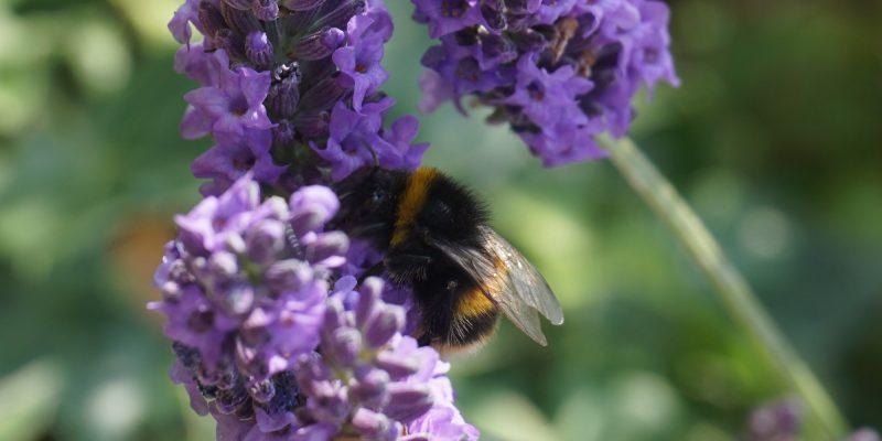An Image of a Bumble bee on lavender